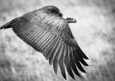 Avvoltoio dorsobianco, Masai Mara, Kenya