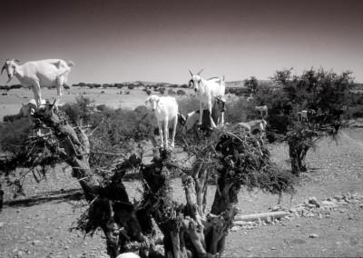 Capre su alberi argan, Marocco