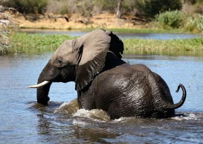 Elefante attraversa il fiume, Caprivi, Namibia