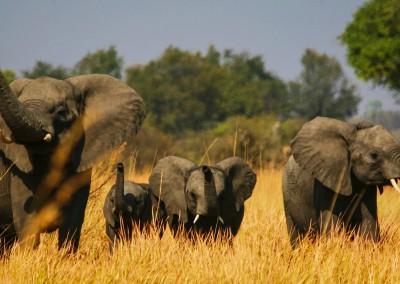 Elefanti trombettisti, Botswana