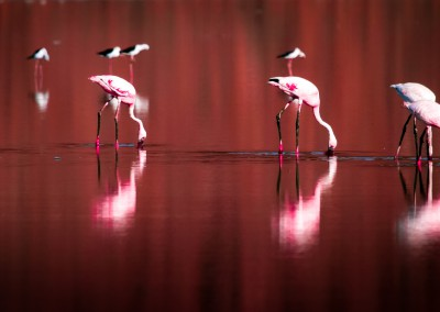 Fenicotteri rosa, Lago Magadi, Kenya