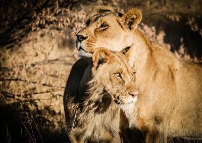 Fratelli leoni, Botswana