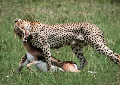 Ghepardo a caccia , Masai Mara, Kenya
