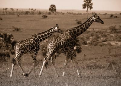 Giraffe, uganda