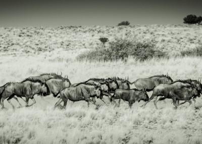 Gnu nel Kalahari, Namibia
