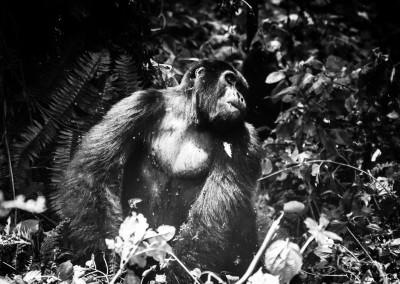 Gorilla di montagna, Bwindi Impenetrable Forest, Uganda