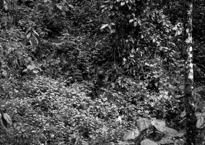 Gorilla mimetizzato, Bwindi Impenetrable Forest, Uganda