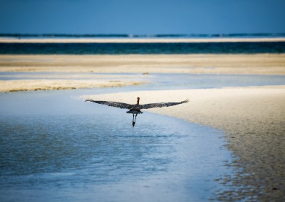Great heron, airone, Mozambico