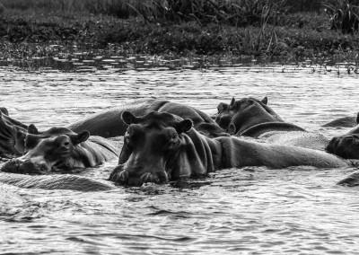 Gruppo hippos, Uganda