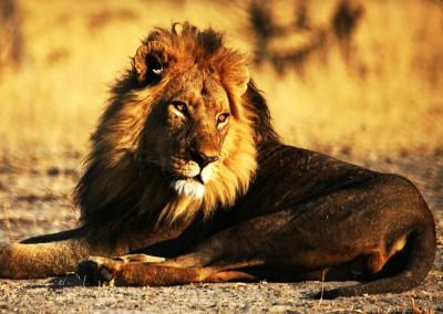 Leone del kalahari, Botswana