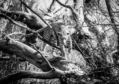 Leopardo sull'albero, Botswana