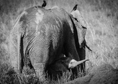 Mamma elefante, Queen Elizabeth Nationa Park Uganda