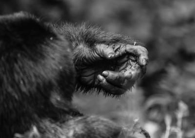 Mano gorilla, Uganda