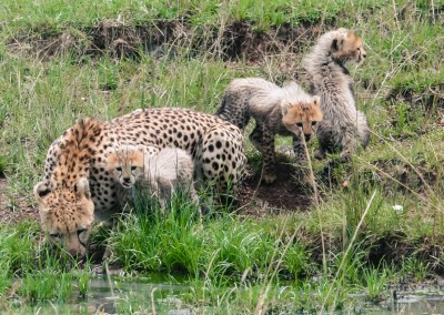 Piccoli ghepardi, Masai Mara, Kenya
