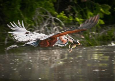 Preda in volo, fiume Chobe, Botswana