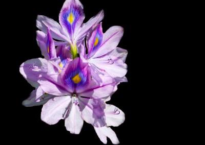 Flower power, Fiore d'Uganda